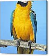 Blue-and-gold Macaw Canvas Print