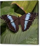 Blue Banded Morpho Canvas Print