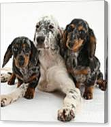 Blue Belton Setter And Dachshund Pups Canvas Print