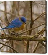 Blue Bird Perched On Willow Canvas Print
