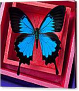 Blue Butterfly In Pink Box Canvas Print