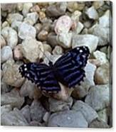 Blue Butterfly On The Rocks Canvas Print