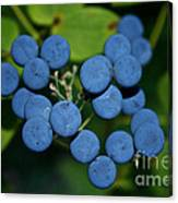 Blue Cohosh Canvas Print