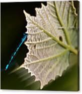 Blue Damsel On Leaf Canvas Print