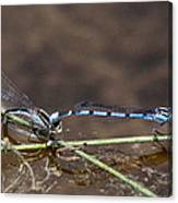 Blue Damsel Canvas Print