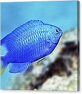 Blue Damselfish Canvas Print