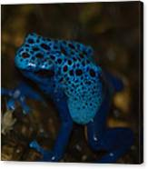 Blue Dart Frog Canvas Print