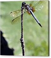 Blue Dasher Dragonfly Dancer Canvas Print