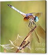 Blue Dasher On Twig Canvas Print