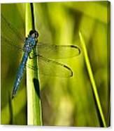 Blue Dragonfly 1 Canvas Print