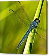 Blue Dragonfly 10 Canvas Print