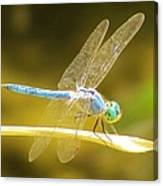 Blue Dragonfly Canvas Print