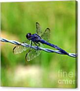 Blue Dragonfly On Barb Wire Canvas Print