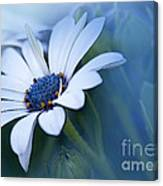 Blue Eyed African Daisy Canvas Print