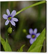 Blue Eyed Grass Canvas Print