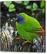 Blue Faced Parrot Finch Canvas Print