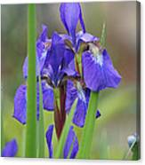 Blue Flag Iris - Dsc03987 Canvas Print