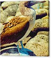 Blue-footed Booby Canvas Print