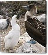 Blue-footed Booby Mother And Chick Canvas Print