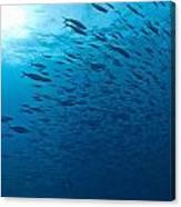 Blue Fusiliers, Similan National Marine Canvas Print