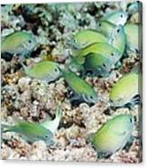 Blue-green Chromis On A Reef Canvas Print