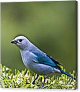 Blue-grey-tanager Canvas Print