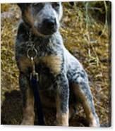 Blue Heeler Pup Canvas Print