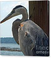 Blue Heron 2 Canvas Print