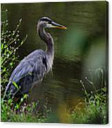 Blue Heron Observing Pond - 6955k Canvas Print