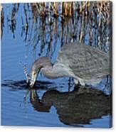 Blue Heron Splash Canvas Print