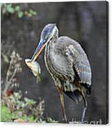 Blue Heron With Fish Canvas Print