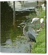 Blue Heron With Ibis Canvas Print