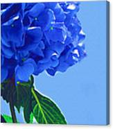Blue Hortensia Hydrangea Canvas Print