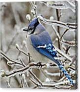 Blue Jay - D003568 Canvas Print