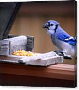 Blue Jay On Backyard Feeder Canvas Print
