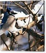 Blue Jay Staying Warm Canvas Print