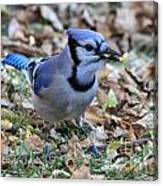 Blue Jay With A Piece Of Corn In Its Mouth Canvas Print