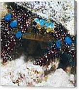 Blue-knee Hermit Crab Canvas Print