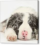 Blue Merle Border Collie Pup Canvas Print