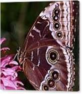 Blue Morpho Butterfly On Flower Canvas Print