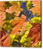 Blue Ridge Autumn Leaves 1.0 Canvas Print