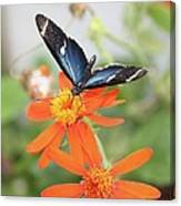 Blue Sara On Orange Sunflower Canvas Print