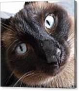 Blue Siamese Eyes Canvas Print