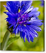 Blue Single Cornflower Canvas Print