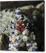 Blue Spotted Harlequin Shrimp, Bali Canvas Print