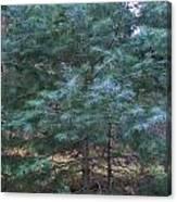Blue Spruce Canvas Print