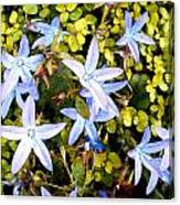 Blue Star Flowers Canvas Print