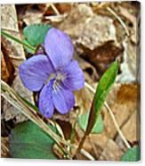 Blue Violet Wildflower - Viola Spp Canvas Print