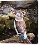 Blue-winged Kookaburra 2 Canvas Print
