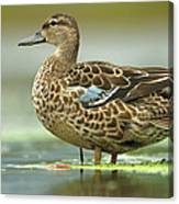 Blue-winged Teal Anas Discors Female Canvas Print